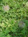 Photos_fleurs_sauvages_04_-_2002-06-22_-_182F-anemones_pulsatile.JPG