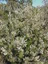Photos_fleurs_sauvages_06_-_2005-04-27_-_005S_bruyere_arborescente_Erica_arborea.JPG