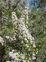 Photos_fleurs_sauvages_07_-_2005-04-27_-_006S_bruyere_arborescente-Erica_arborea.JPG