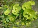 Photos_fleurs_sauvages_07_-_2005-04-27_-_021S_euphorbe_a_feuiilles_d_amandier-Euphorbia_amygdaloides.JPG