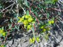 Photos_fleurs_sauvages_07_-_2005-04-30_-_136F_euphorbe.JPG