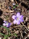 Photos_fleurs_sauvages_08_-_2006-04-02_-_9322_anemone_hepatique.jpg