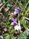 Photos_fleurs_sauvages_08_-_2006-04-14_-_9497_violettes_et_anemone_hepatique.jpg