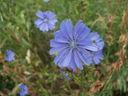 Photos_fleurs_sauvages_09_-_2007-07-04_-_008_fleur_de_chicoree_intube.JPG
