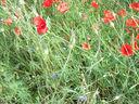 Photos_fleurs_sauvages_10_-_2008-06-16_-_374-ble-coquelicots-bleuets.JPG