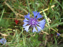 Photos_fleurs_sauvages_10_-_2008-06-16_-_375-bleuet-centaurea-cyanus.JPG