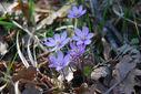 Photos_fleurs_sauvages_10_-_2010-03-28_-_020_anemones_hepatiques.jpg