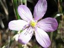 Photos_fleurs_sauvages_11_-_2011-03-20_-_028_fleur_rose_assez_rare_d_anemone_hepatique.JPG