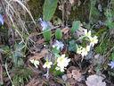 Photos_fleurs_sauvages_11_-_2011-03-20_-_037_primevere_commune_et_anemones_hepatique_premieres_fleurs_du_printemps.JPG