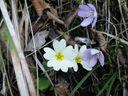 Photos_fleurs_sauvages_11_-_2011-03-20_-_062_fleurs_de_primevere_acaule_et_anemones_hepatiques.JPG