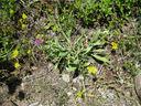 Photos_fleurs_sauvages_11_-_2011-07-20_-_030_centauree_des_montagnes_ou_bleuet_des_montagnes_-_cyanus_montanus.JPG