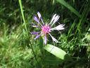 Photos_fleurs_sauvages_11_-_2011-07-20_-_046_centauree_des_montagnes_ou_bleuet_des_montagnes_-_cyanus_montanus.JPG