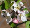 Photos_fourmis_-_2008-04-16_-_036_-_fourmi-drap-mortuaire-pommier_PS.JPG