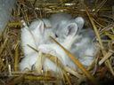 Photos_lapins_lapereaux_-_2012-05-05_-_002_lapereaux_blancs_a_la_ferme_pedagogique.JPG