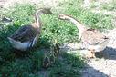 Photos_oies_oisons_-_2010-07-04_-_002_couple_d_oies_de_guinee_et_leurs_oisons_a_la_ferme_pedagogique.JPG