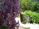 Photos_papillons_de_jour_01_-_2005-05-08_-_0128_papillon_Aurore_Anthocharis_cardamines_femelle.jpg