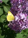 Photos_papillons_de_jour_01_-_2005-05-08_-_0137_souci.jpg