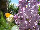 Photos_papillons_de_jour_01_-_2005-05-08_-_0149_papillon_Aurore_Anthocaris_cardamines_male.jpg