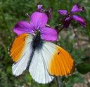 Photos_papillons_de_jour_01_-_2005-05-15_-_0641_papillon_Aurore_.jpg