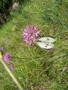 Photos_papillons_de_jour_02_-_2005-06-12_-_2588_Pieris_brassicae_La_Pieride_du_Chou.jpg