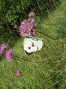 Photos_papillons_de_jour_02_-_2005-06-12_-_2589_Pieris_brassicae_La_Pieride_du_Chou.jpg