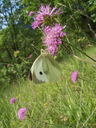 Photos_papillons_de_jour_02_-_2005-06-12_-_2591_Pieris_brassicae_La_Pieride_du_Chou.jpg