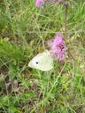 Photos_papillons_de_jour_02_-_2005-06-12_-_2593_Pieris_brassicae_La_Pieride_du_Chou.jpg