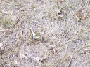 Photos_papillons_de_jour_02_-_2005-08-15_-_4784_Le_Grand_Porte-queue_Machaon.jpg
