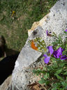 Photos_papillons_de_jour_02_-_2006-04-16_-_9638_papillon_aurore_male.jpg