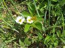 Photos_papillons_de_jour_02_-_2006-04-17_-_9714_papillon_souci_sur_fraisier.jpg