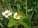 Photos_papillons_de_jour_02_-_2006-04-17_-_9715_papillon_souci_sur_fraisier.jpg