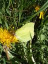 Photos_papillons_de_jour_02_-_2006-04-23_-_9900_papillon_citron.jpg