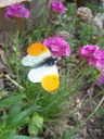 Photos_papillons_de_jour_02_-_2006-05-17_-_0753_aurore.jpg