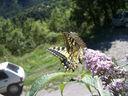 Photos_papillons_de_jour_03_-_2006-08-03_-_5222_machaon.jpg