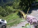 Photos_papillons_de_jour_03_-_2006-08-03_-_5224_papilio_machaon.jpg