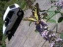 Photos_papillons_de_jour_03_-_2006-08-03_-_5228_machaon.jpg