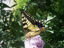 Photos_papillons_de_jour_03_-_2006-08-03_-_5233_machaon.jpg