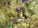 Photos_papillons_de_jour_03_-_2006-08-22_-_6950_papillon_machaon_ou_grand_porte-queue_papilio_machaon.jpg
