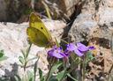 Photos_papillons_de_jour_03_-_2008-04-16_-_158_-_souci_PS.JPG