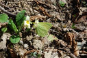Photos_papillons_de_jour_03_-_2010-03-28_-_014_papillon_citron_sur_primevere.jpg