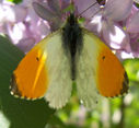 Marcro-photos_nature_-_papillon_Aurore_Anthocaris_cardamines_male.jpg