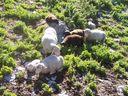 Photos_animaux_de_ferme_-_moutons_blancs_et_noirs.jpg