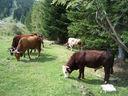 Photos_animaux_-_taureau_et_vaches_en_alpage.jpg