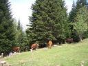 Photos_animaux_-_vaches_en_estive_-_turini_camp_d_argent_alpes-maritimes.jpg
