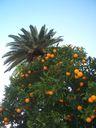 Photos_arbres_-_oranger_du_jardin.jpg