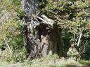 Photos_arbres_-_vieux_tronc_de_chataignier_-.jpg