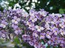 Photos_arbustes_-_fleur_de_budleia_arbre_a_papillon.jpg