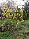 Photos_arbustes_-_forsythia_en_fleur.jpg