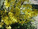 Photos_arbustes_-_fosythia.jpg