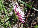 Photos_de_fleurs_-_paquerette_sauvage_-_bellis_sylvestris.JPG